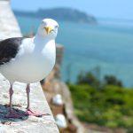 Fugle på Alcatraz, San Francisco, Californien