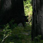 Bjørneunge i Yosemite