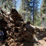 Kæmpe sequoia træer i Yosemite Californien