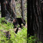 Bjørn i Yosemite Californien