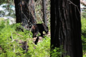 Bear Cub in Yosemite