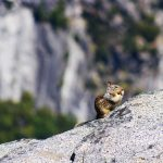Squirrel, Yosemite, Califonia