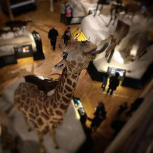 Giraffe, National Museum of Scotland, Edinburgh, Scotland
