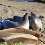 Elephant Seal Rookery, Californien, West Coast Roadtrip