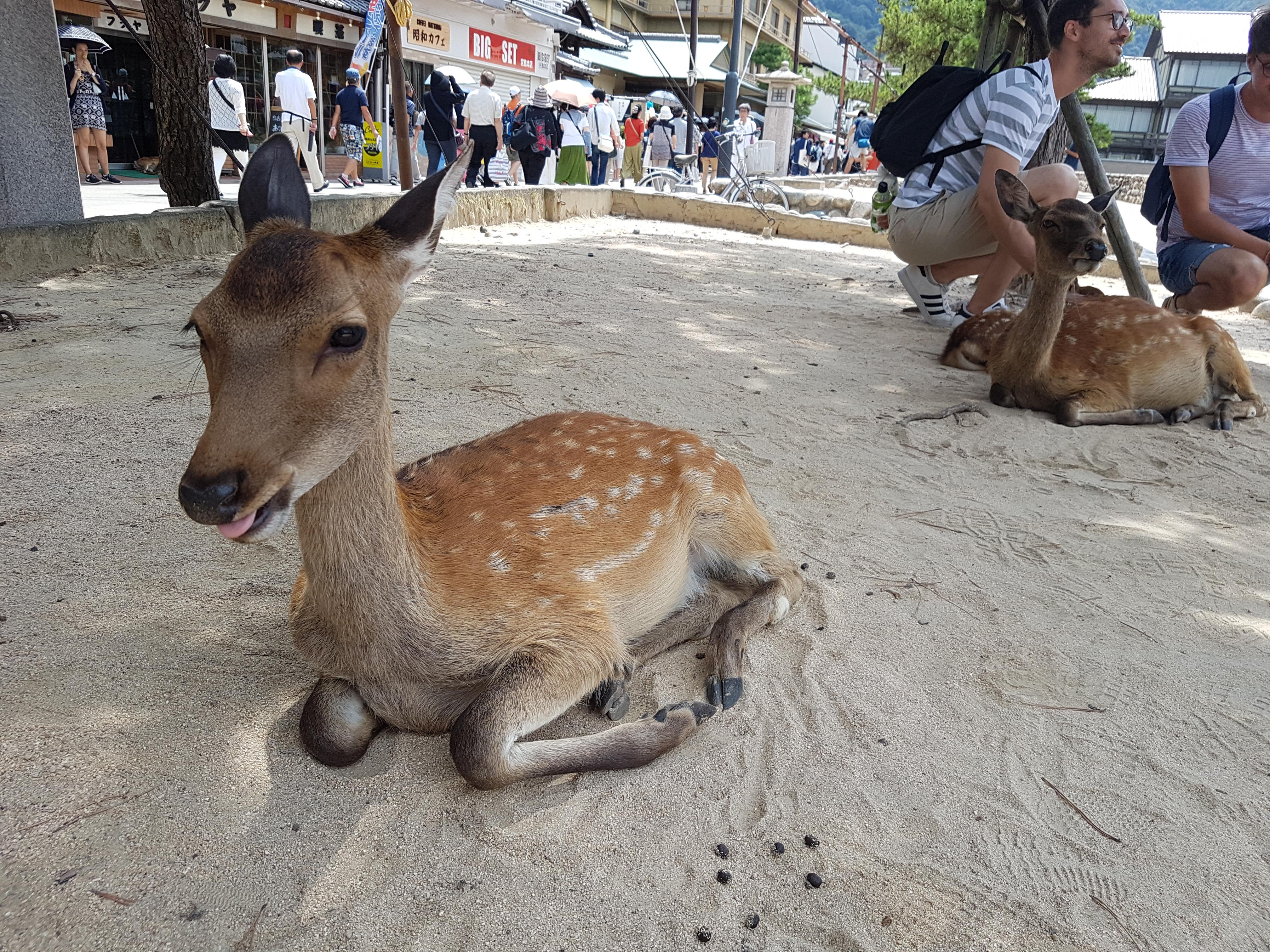 Sikahjort, Miyajima, Hiroshima, Japan